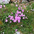 Oeillets de Montpellier, dianthus monspessulanus
