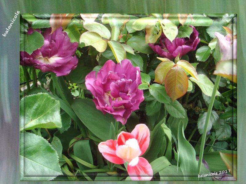balanicole_2017_05_le printemps des tulipes_38_sous les feuilles