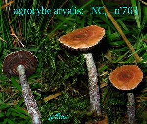 agrocybe_arvalis_n_763