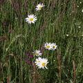 2009 05 17 Fleurs sauvages à Roumezoux en Ardèche