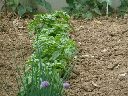 potager 29juin2012 (25)