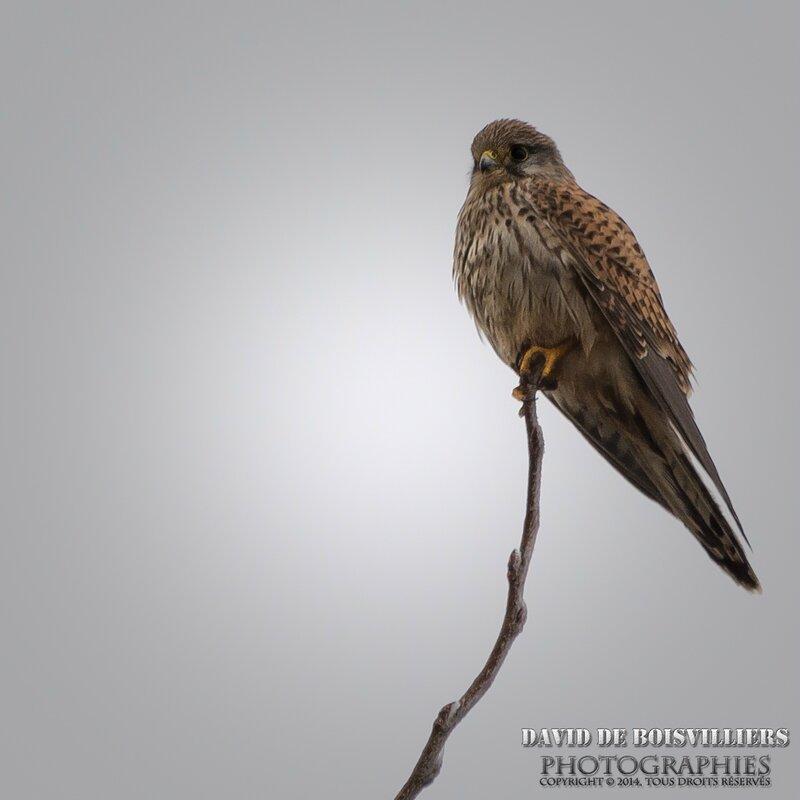 Faucon Crécerelle (Falco tinnunculus) ♀