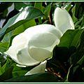 Magnolia 2906156