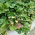 fraisiers - www.passionpotager.canalblog.com