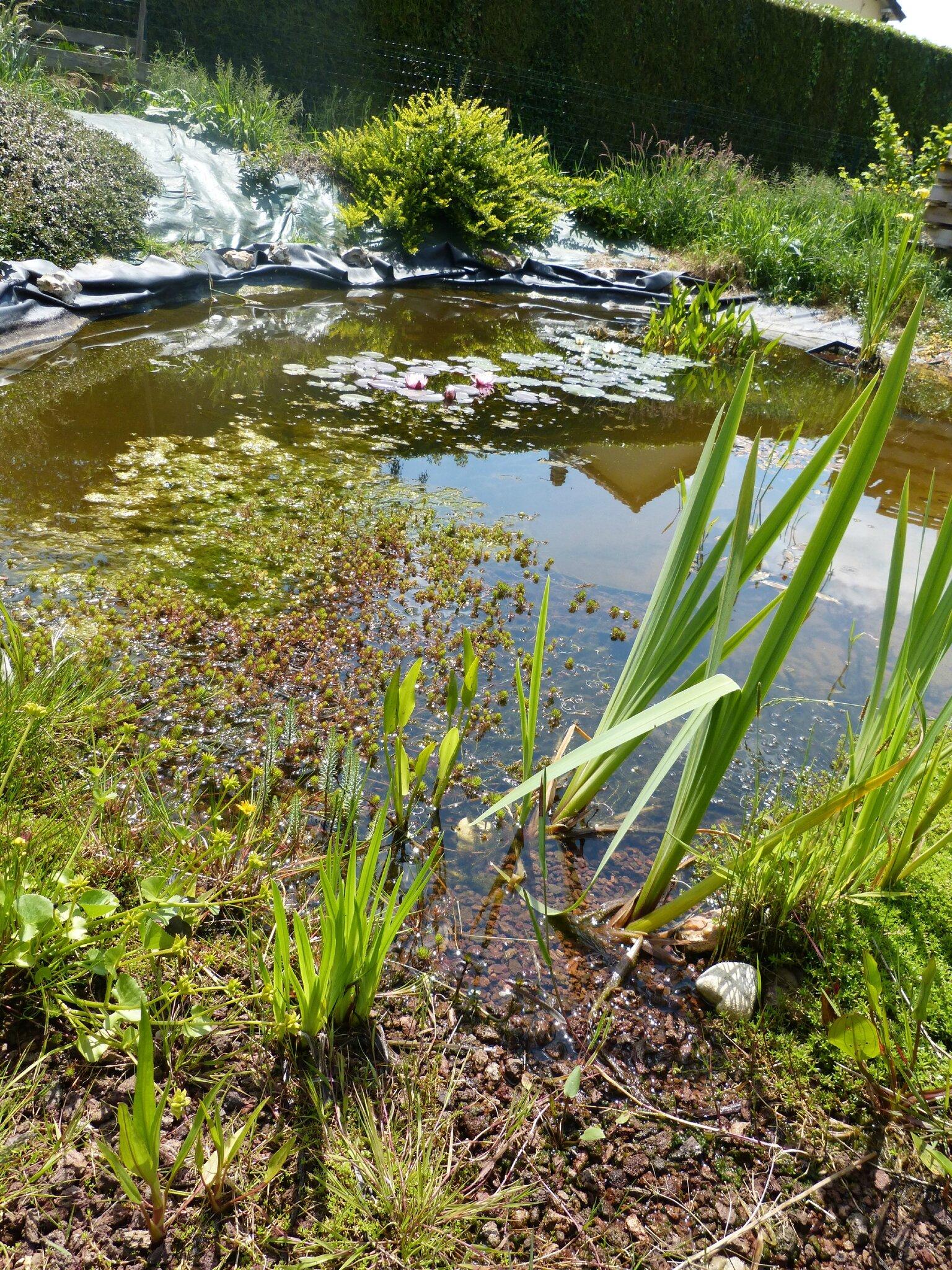 Le bassin mai 2015 notre jardin ecologique for Jardin mai 2015