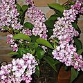 BOUQUET DE LILAS 3