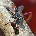 Cette mouche parasite les punaises nébuleuses