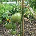 mes tomates.