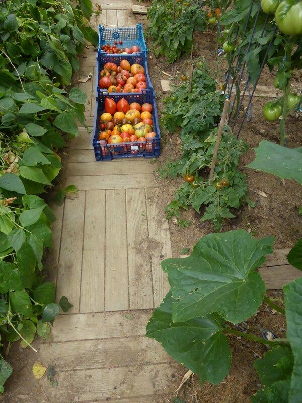 26-tomates-serre (44)