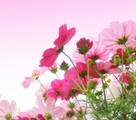 Cosmos-in-Pink