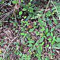 Cèpe d'été aux tons de roux parmi la végétation.