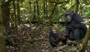 chimpanz_s7
