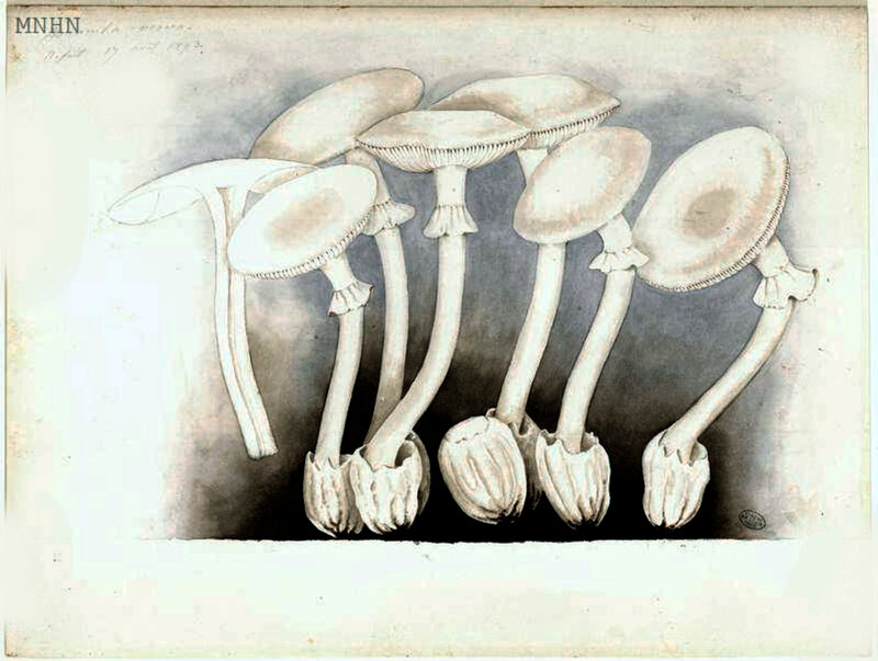 15 Amanita verna, Refait 17 août 1893