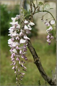 glycine-rose-paleDSC04656