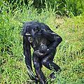 La vallée des singes : cinquième naissance chez les bonobos !
