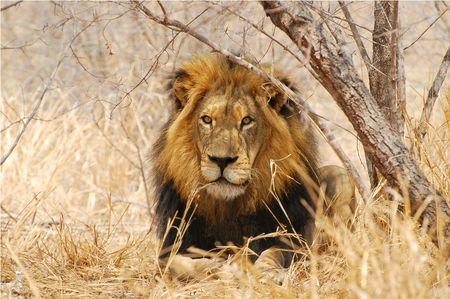 Lion__parc_Kruger__Afrique_du_Sud