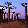 Baobab Night