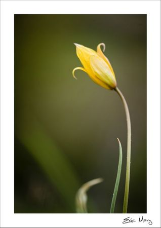 Tulipes sauvage_2