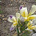 iris nain jaune et mauve 2
