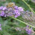 lavande et abeille