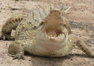 Crocodile_sacr_e_de_Sabou_au_Burkina_Faso_Photo_9