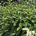 Polygonum filiformis - Persicaria virginiana