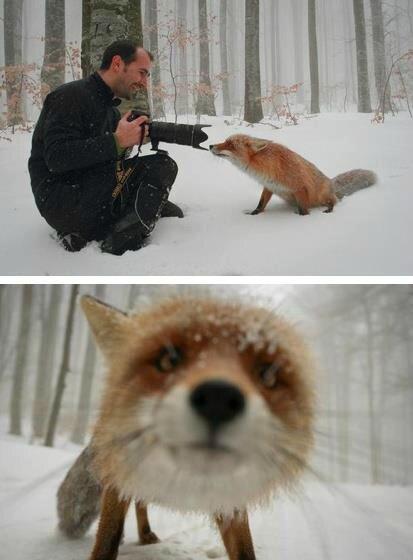 renard hiver