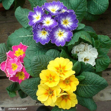 Primula_4_colors