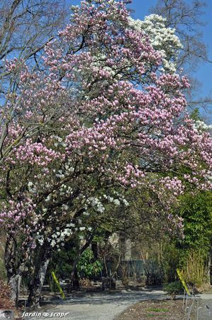 Magnolias_complementaires