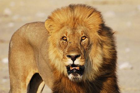 Lion__Parc_d_Etosha__Namibie__14_