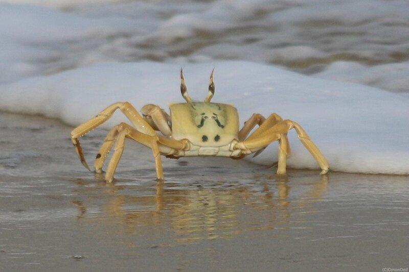 crabejaune1