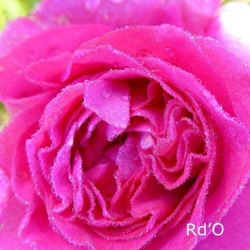 roses-bernadette-lafont-blog-03