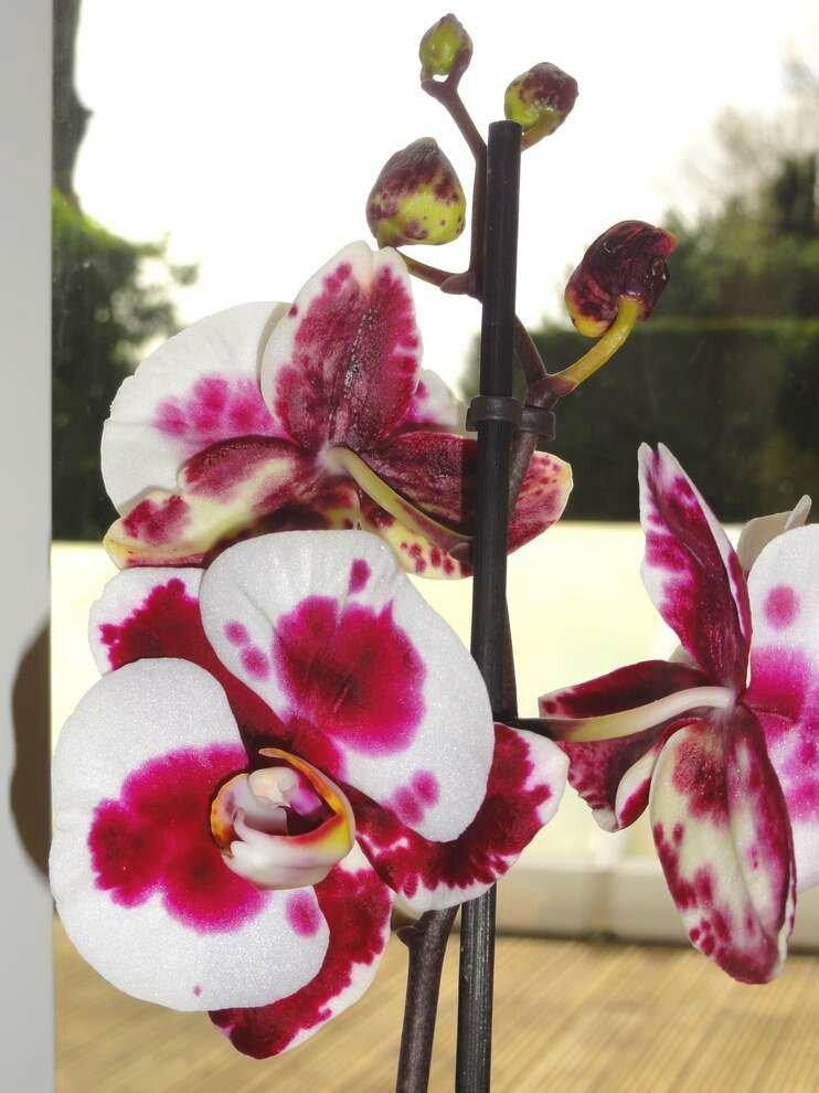 Une orchidée (Phalaenopsis )