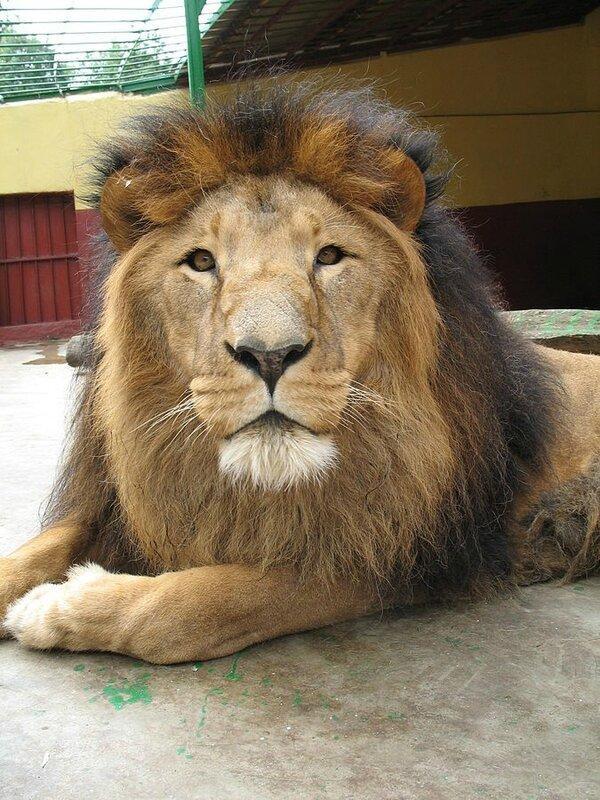 LION EN CAPTIVITE AU ZOO D'ADDIS-ABEBA, EN ETHIOPIE