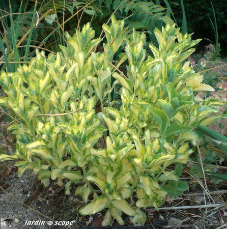 Sedum_spectabilis variegata