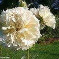 Rose ancienne 'Sombreuil' au château d'Ainay-le-Vieil
