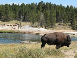 wy_2008_08_yellowstone_bison_480x360