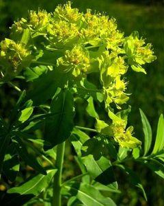 Euphorbia_palustris_01