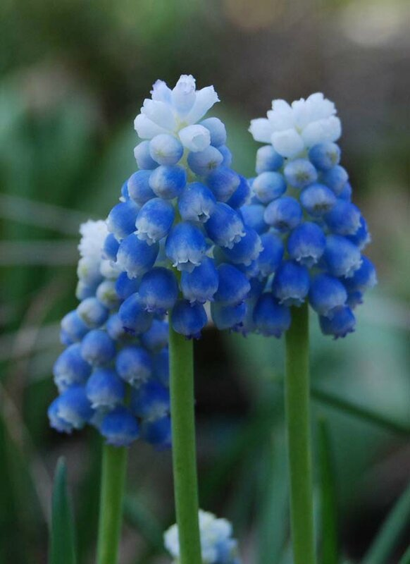 Muscari aucheri 'Ocean Magic'