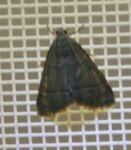 Pyralidae sp