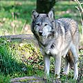 Loup gris d'Europe - Canis lupus lupus (7)
