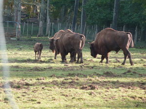 troupeau_de_bisons
