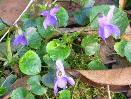 violettes_007