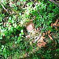 Jeune cèpe d'été parmi les myrtilles au Serròt de Boish...