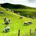 Renard saute moutons