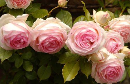 eden_rose2