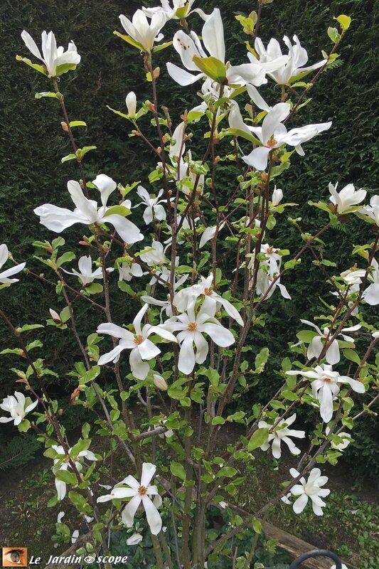 Magnolia-bis-4