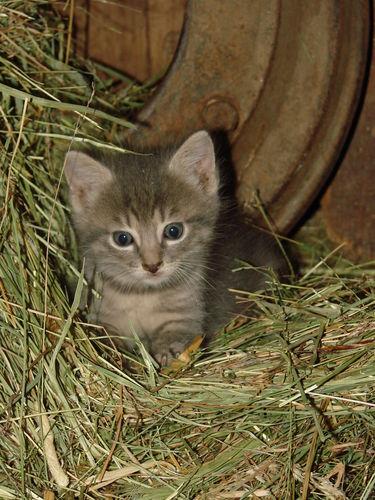 2008 06 18 Un chaton de la mère sauvage des voisin dans notre grange