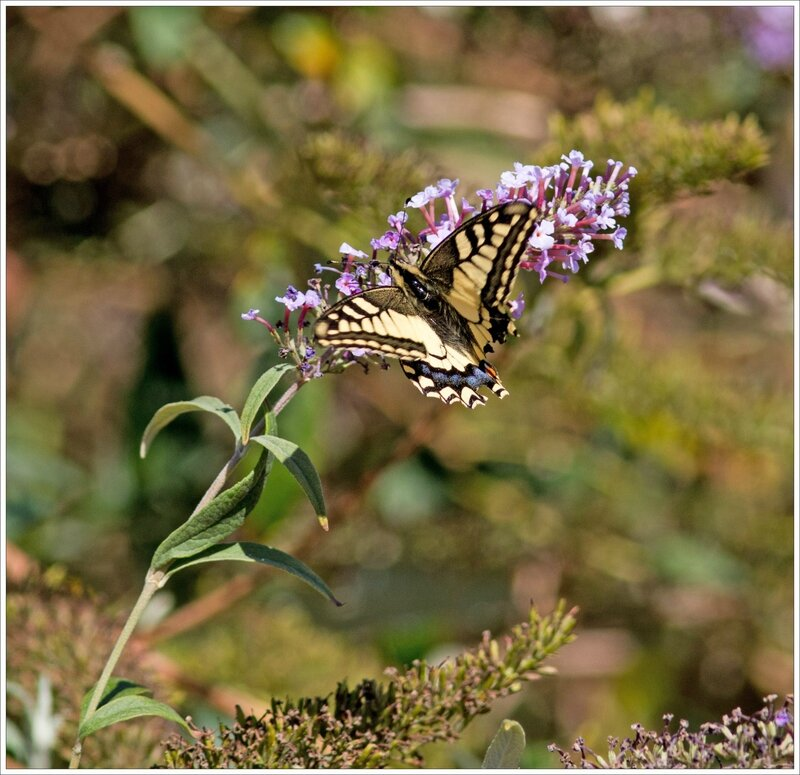 Torfou papill Machaon buddleia 080916 2