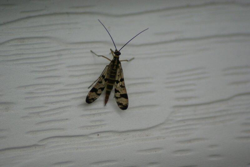 Panorpa vulgaris35